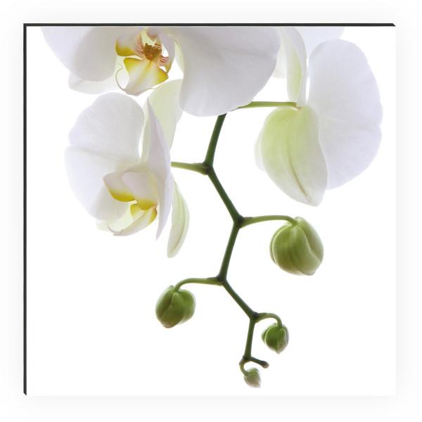 Shower Orchidee Phala 1
